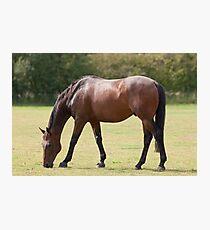 Thoroughbred Horse Grazing Photographic Print