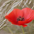 Red poppy in corn by SarahMinchin