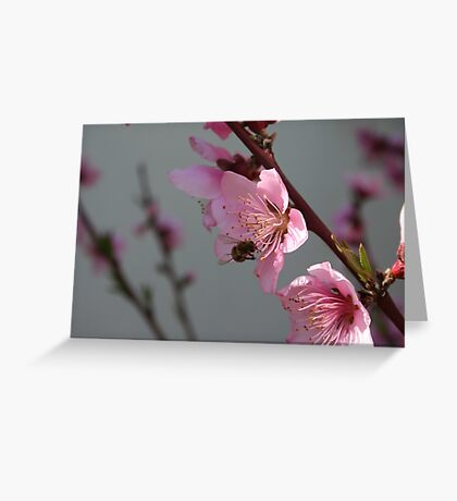 Honey Bee Feeding on Peach Tree Blossom Greeting Card
