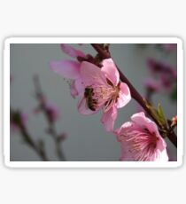 Honey Bee On Open Peach Tree Blossom Sticker
