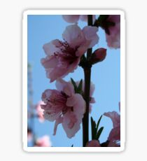 Pastel Pink of Peach Tree Blossom Sticker