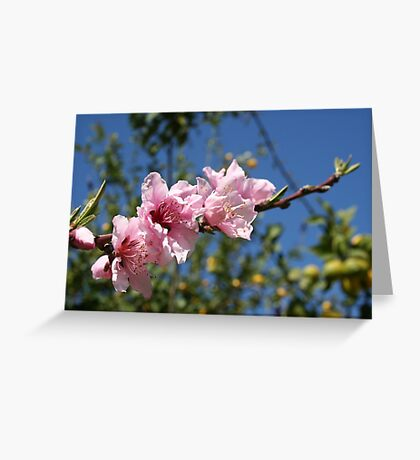 Peach Tree Blossom Against Blue Sky Greeting Card