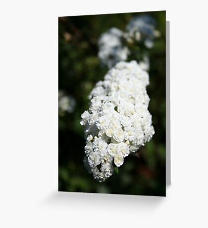 Deutzia White Spring Blossoms  Greeting Card