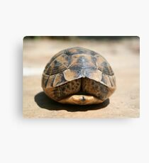 Tortoise Hiding In Its Shell  Metal Print