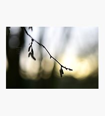""""""" Catkins, Early Light """" Photographic Print"""