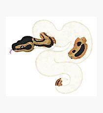 Ball/Royal Python - Pied Morph Photographic Print