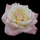 Pink Rose by Sandy1949