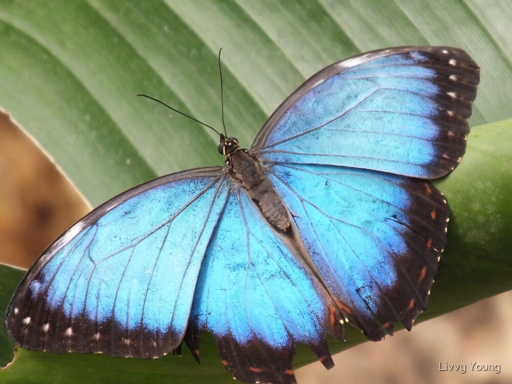 Blue Morpho by Livvy Young