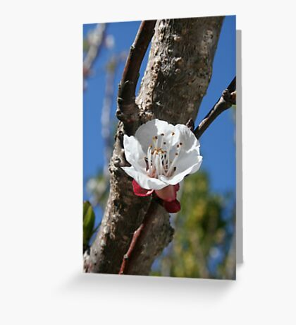 A Single Apricot Blossom Greeting Card