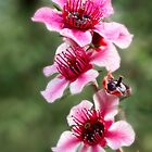 New Zealand tea tree flowers by Celeste Mookherjee