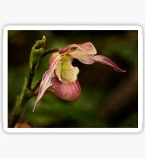 Pink lady's slipper orchid Sticker