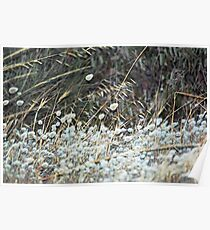 Bunny Tail Grass Blowing in the Wind Poster