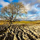 Tree With Limestone Pavement - Malham by David Lewins