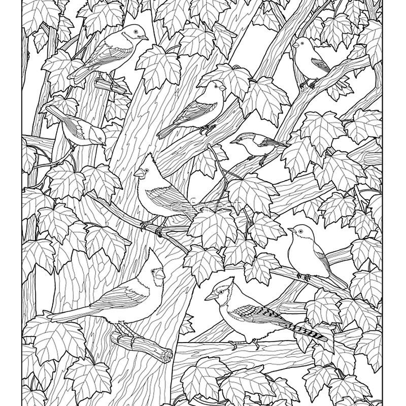 Maple Tree Birds Adult Coloring Page