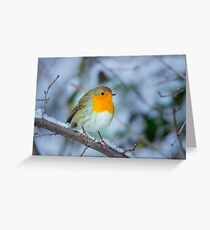 A robin in winter Greeting Card