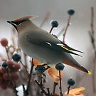 Bohemian Waxwing in a Snow Storm by akaurora