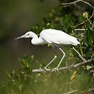 Immature Little Blue Heron by akaurora