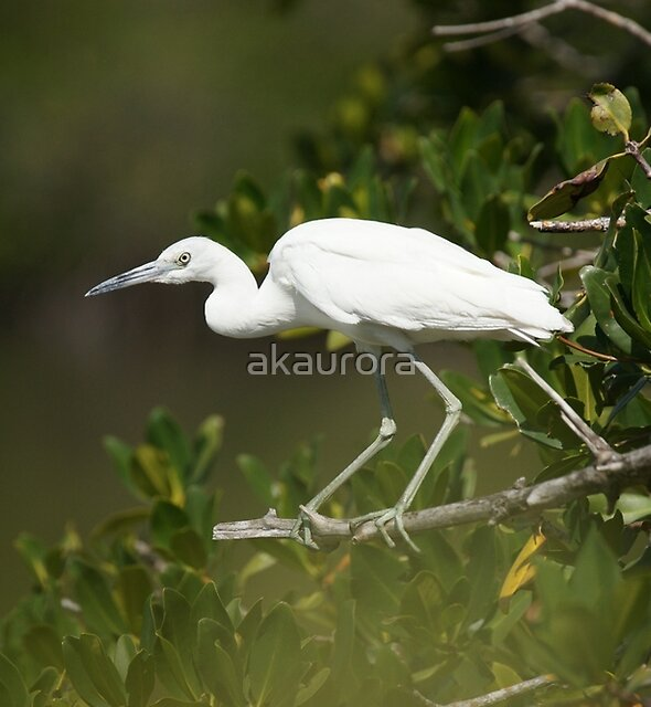 Immature Little Blue Heron by akaurora