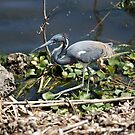 Tricolored Heron by akaurora