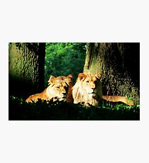 Lion in the sunshine Photographic Print