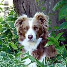 Beauty In Camouflage - Border Collie - NZ by AndreaEL