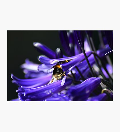 The Hard Working Bumble Bee Photographic Print