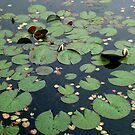Waterlily Pads by AnnDixon