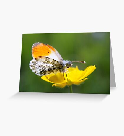 Orange Tip on Buttercup Greeting Card