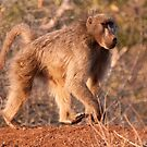 Chacma Baboon, Kruger National Park, South Africa by Erik Schlogl