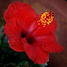 Red Hibiscus by Colleen Drew