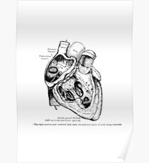 The Heart, right ventricle openned. Poster