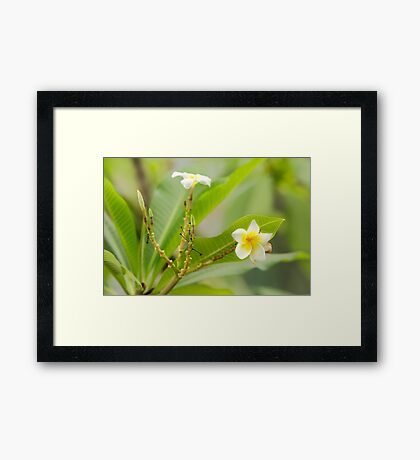 Frangipani in the Beijing Botanical Gardens Framed Print