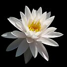 White Waterlily by Sandy1949