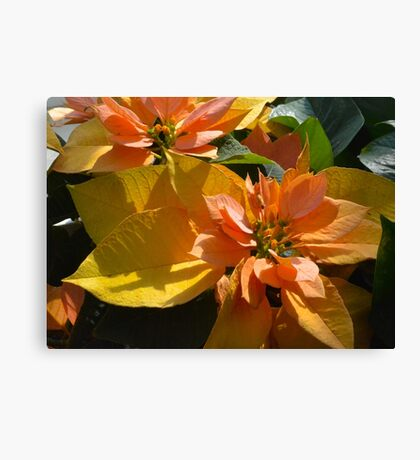 Poinsettia at The Phipps Conservatory Pittsburgh Canvas Print