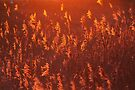 Phragmites in Golden Hour by Jo Nijenhuis