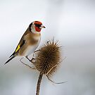 Goldfinch on teasel by M S Photography/Art