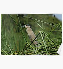Striated Heron and Aquatic Plants Poster