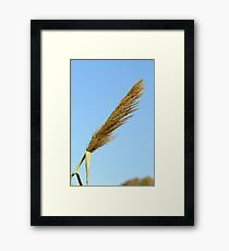flowering Reed growing on the a River blue sky background Framed Print