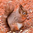 Red Squirrel by Stephen Knowles