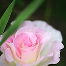 Seduced by a Rose by Clare Colins