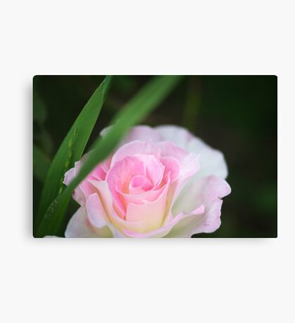 Seduced by a Rose Canvas Print