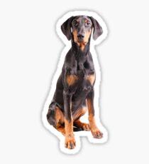 beautiful doberman pinscher Sticker