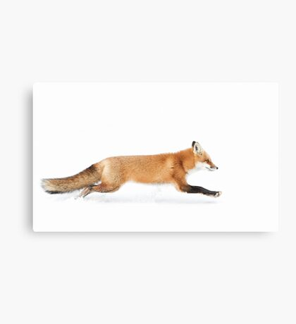 Fox on the run - Algonquin Park Canvas Print