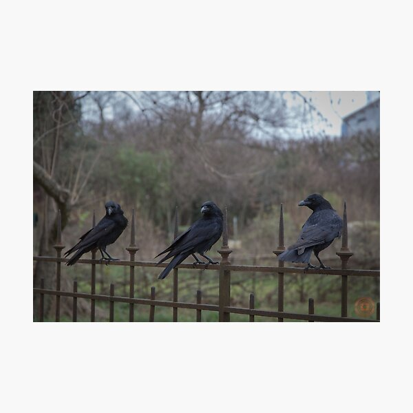 Murder of Crows - Paris Photographic Print