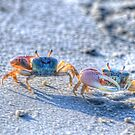 The Fiddler Crab by Diego Re
