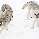 The Twist - Timber Wolves  by Poete100