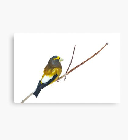 Evening Grosbeak - Algonquin Park Canvas Print