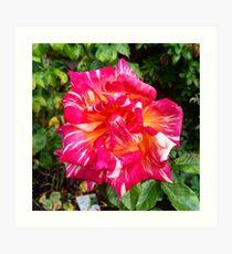 Hybrid Tea Rose Art Print