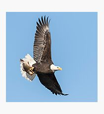 The Great American Bald Eagle 2016-4 Photographic Print