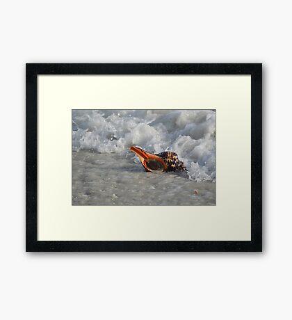 Conch in Gulf Framed Print